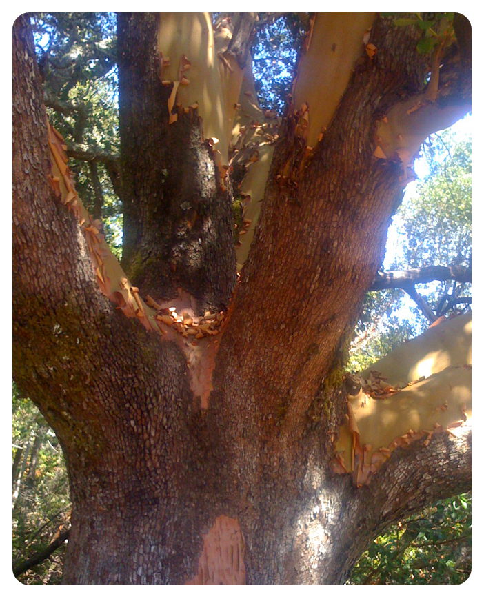 madrone sprock
